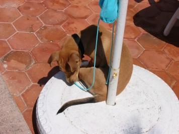 Cabo als Welpe in seinem Heimatland Spanien.