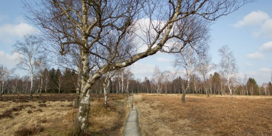 Holzstege führen den Wanderer sicher durch die Moor- und Heidlandschaft.